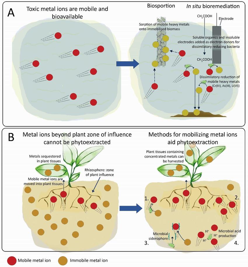 Caption: Source: Wood et al (2016). Microorganisms in heavy metal bioremediation: strategies for applying microbial-community engineering to remediate soils. [7]