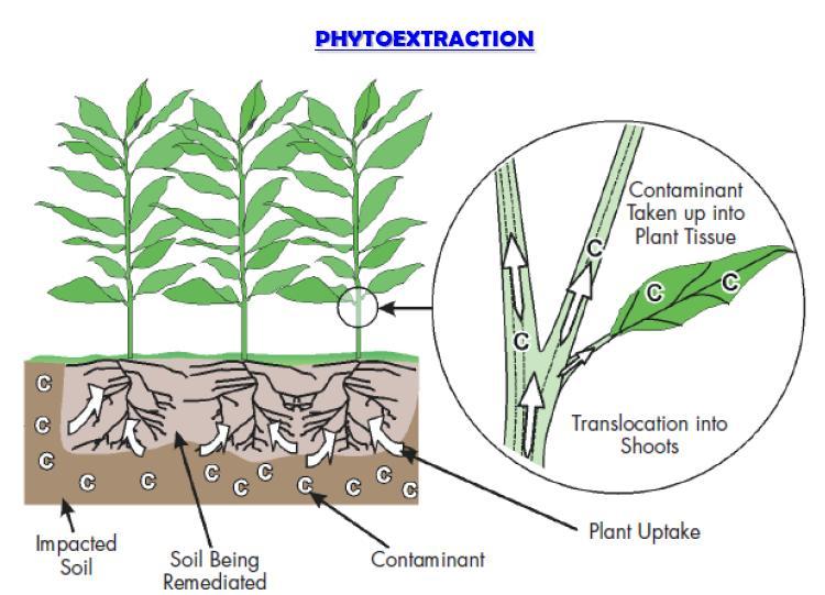 Phytoremediation.  [12]