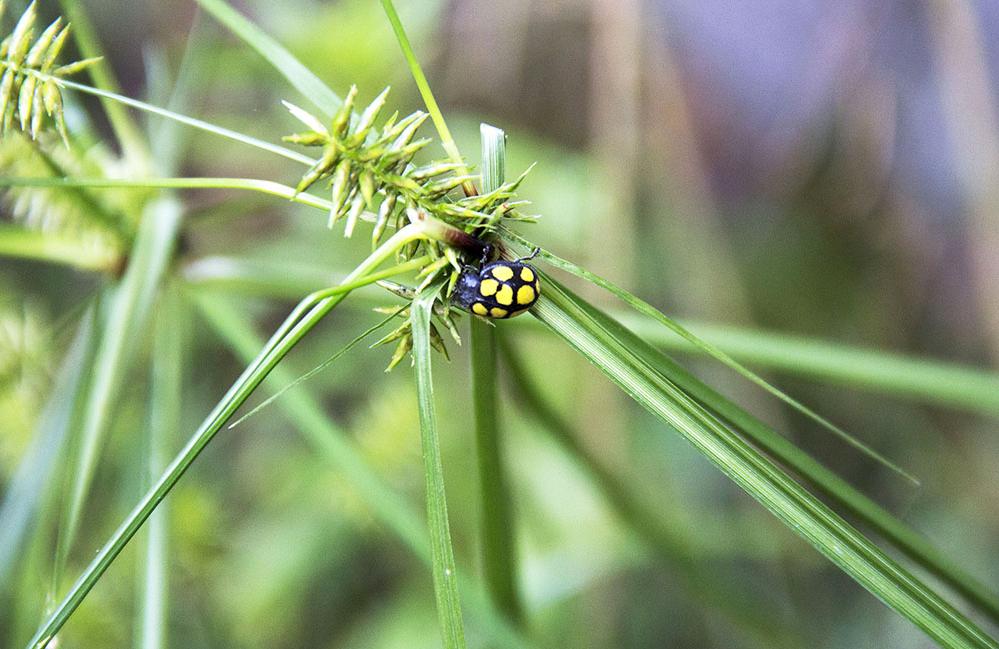 Coleoptera ii: Calligrapha.jpg