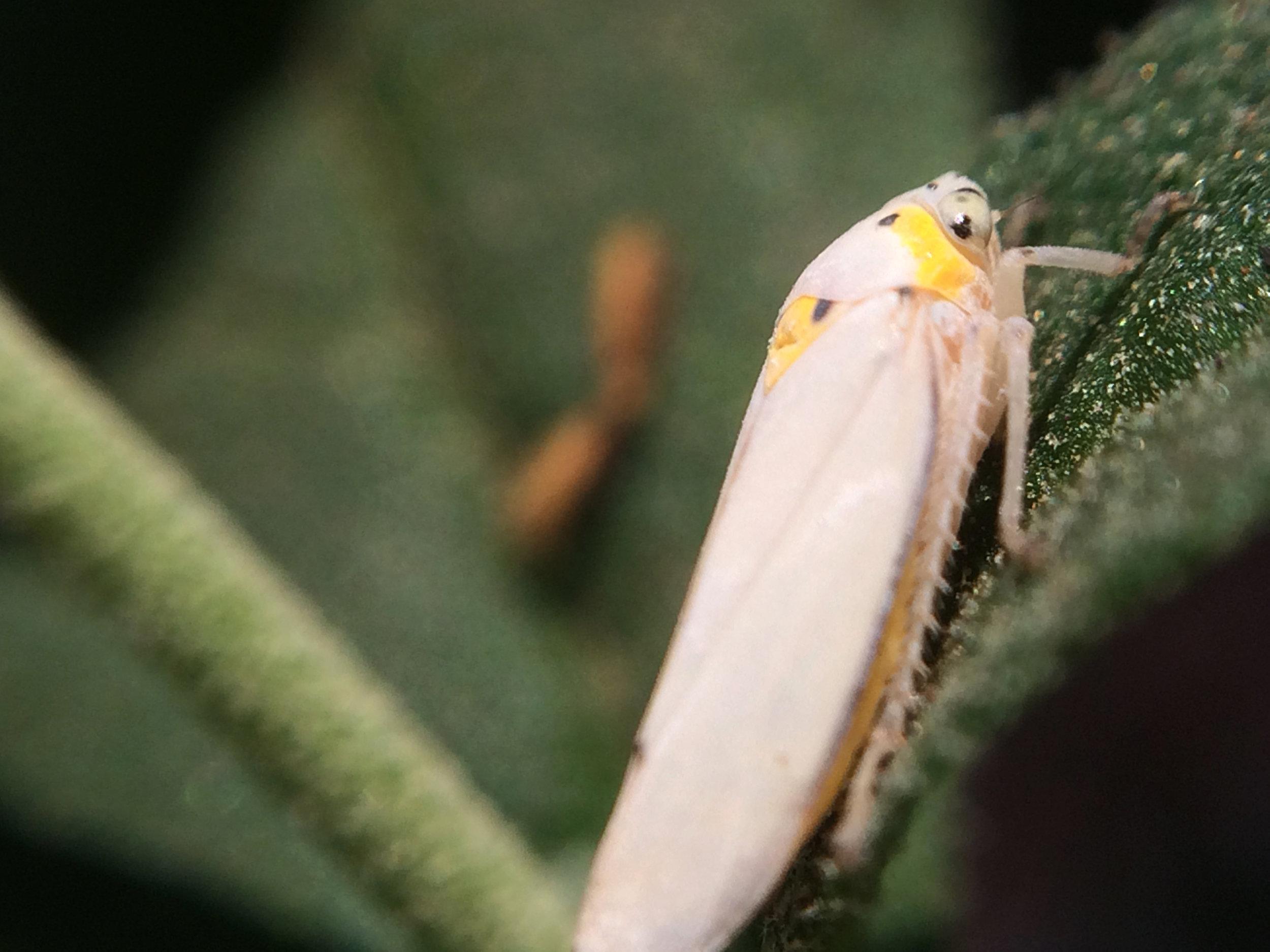Cicadellidae (2).jpg