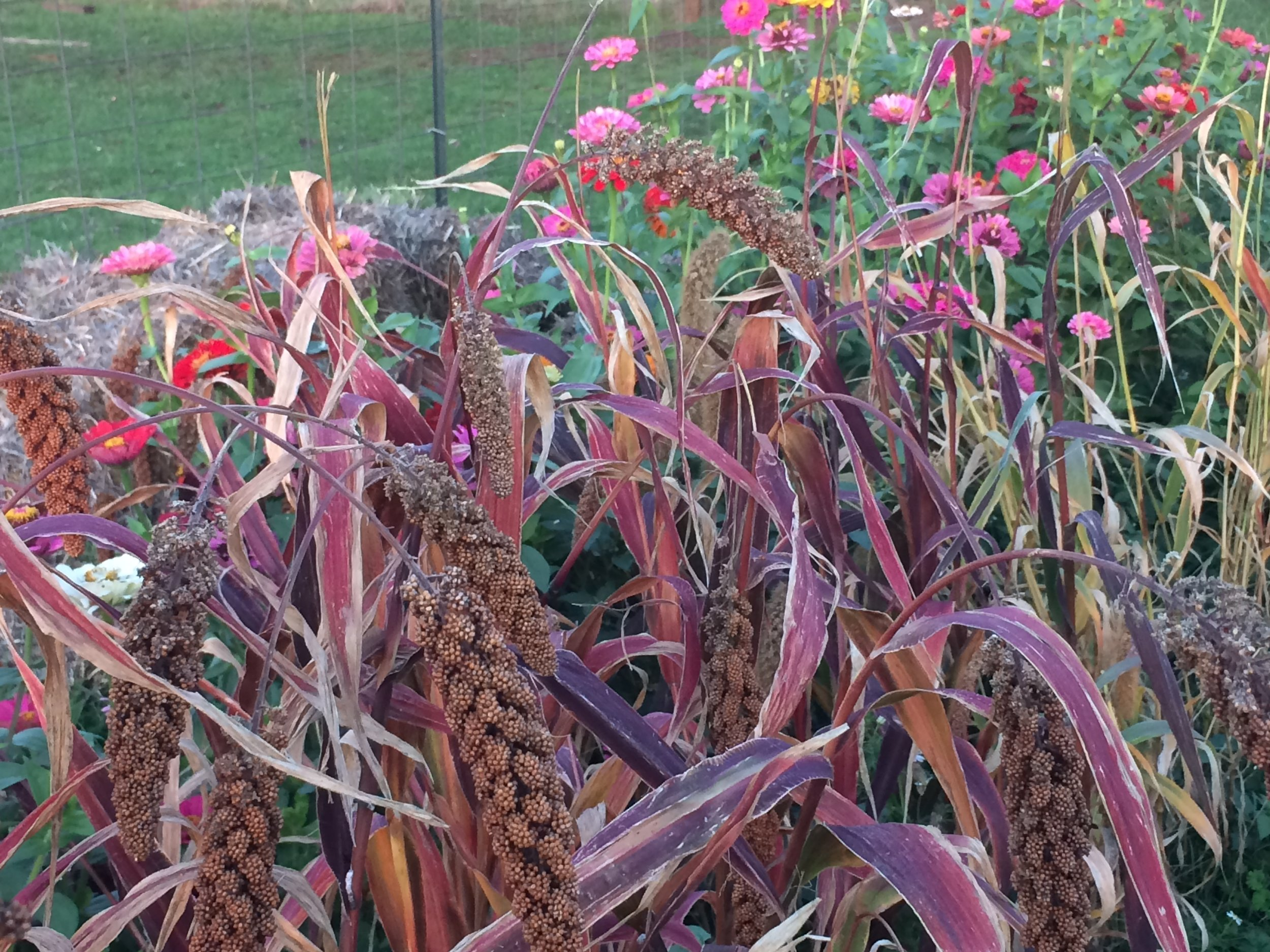 Millet drying on the stalks is then brought in and shaken to save each little seed.