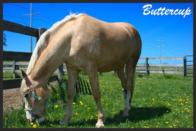 buttercup_horse.jpg