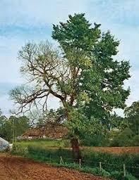 dutch elm disease.png