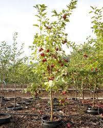 September Ruby Apple Tree