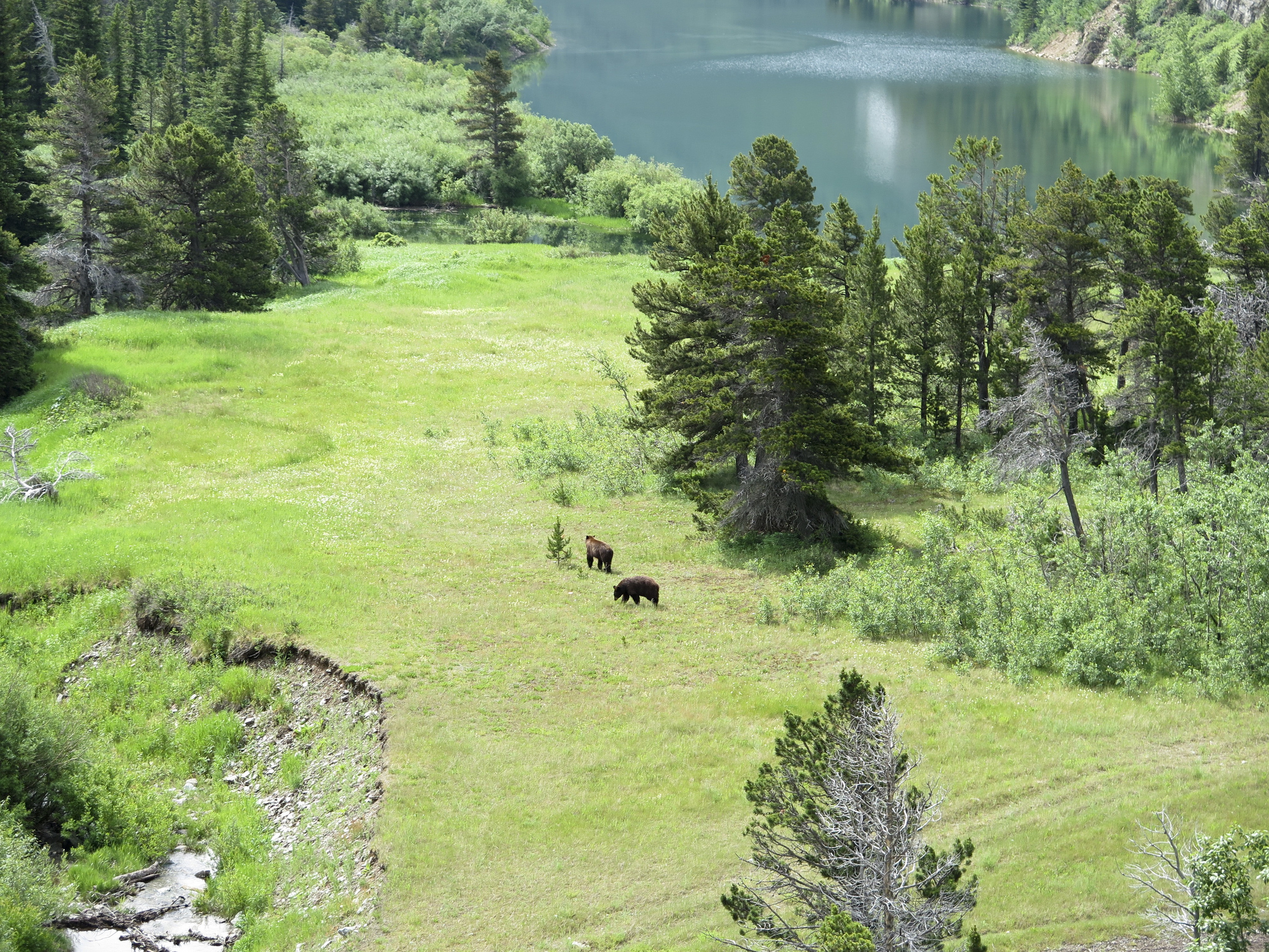 Grizzly bears in the valley