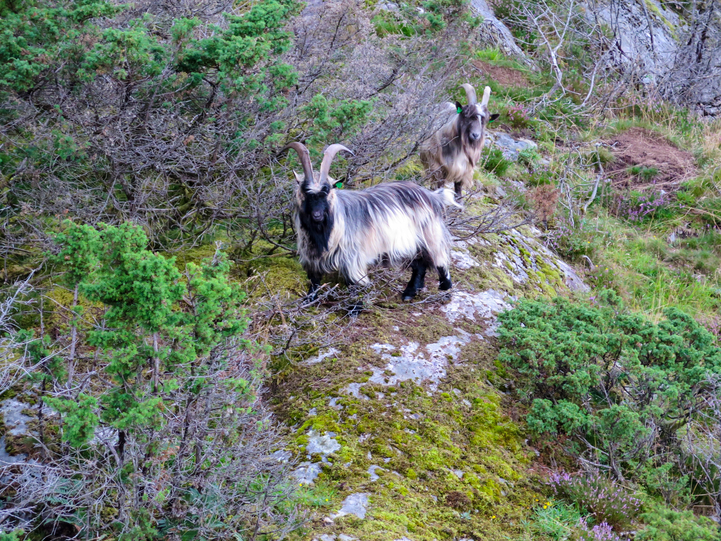 How adorable are these long haired mountain goats?