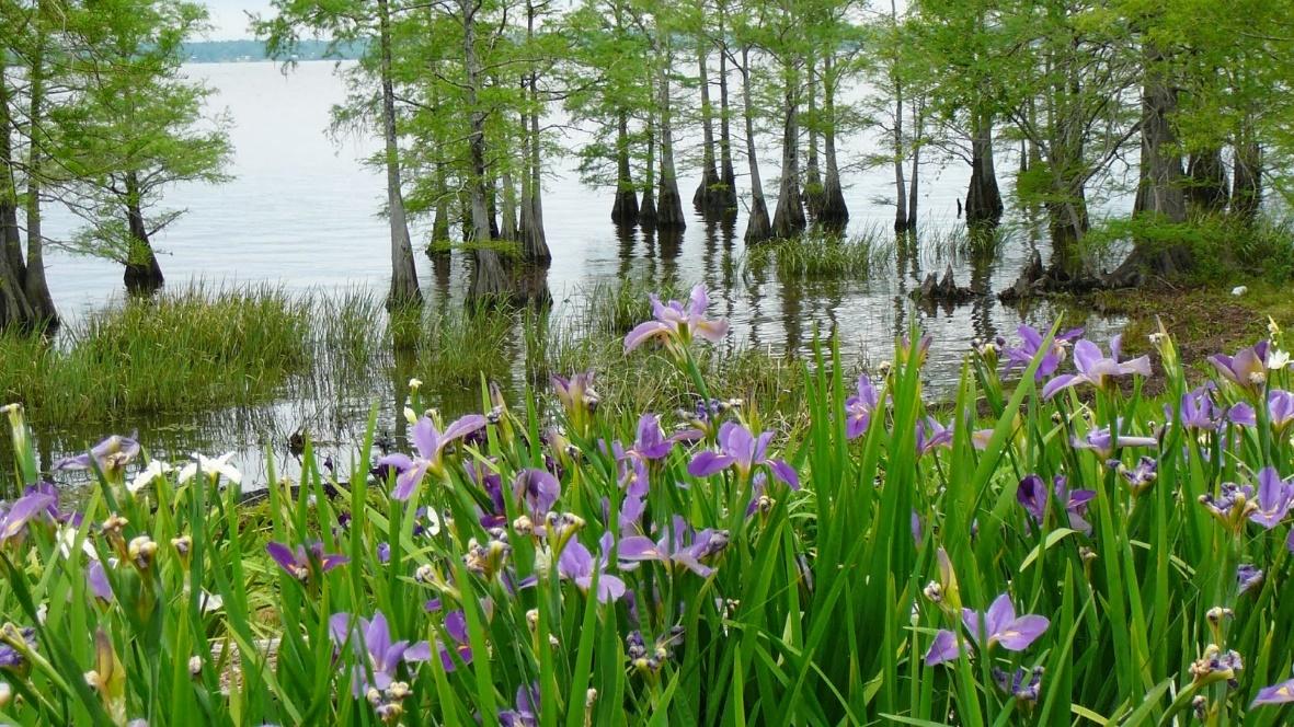 Blue irises in the Louisiana swamp (blog.albanywoodworks.com)