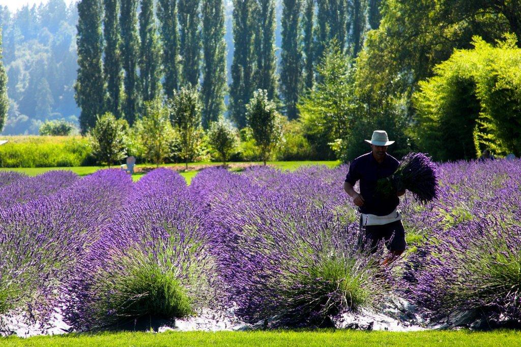 Woodinville Lavender Farm - Woodinville