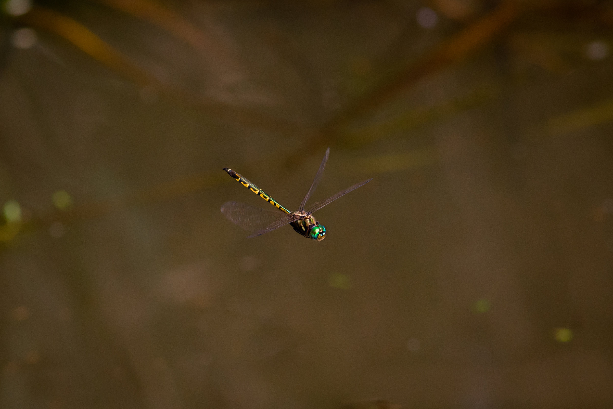 """IDs mk2 and 400 f5.6L. With the long lens, the 2-3 meter """"hops"""" the dragonfly made were relatively small adjustments. Closer would have meant greater shifts."""