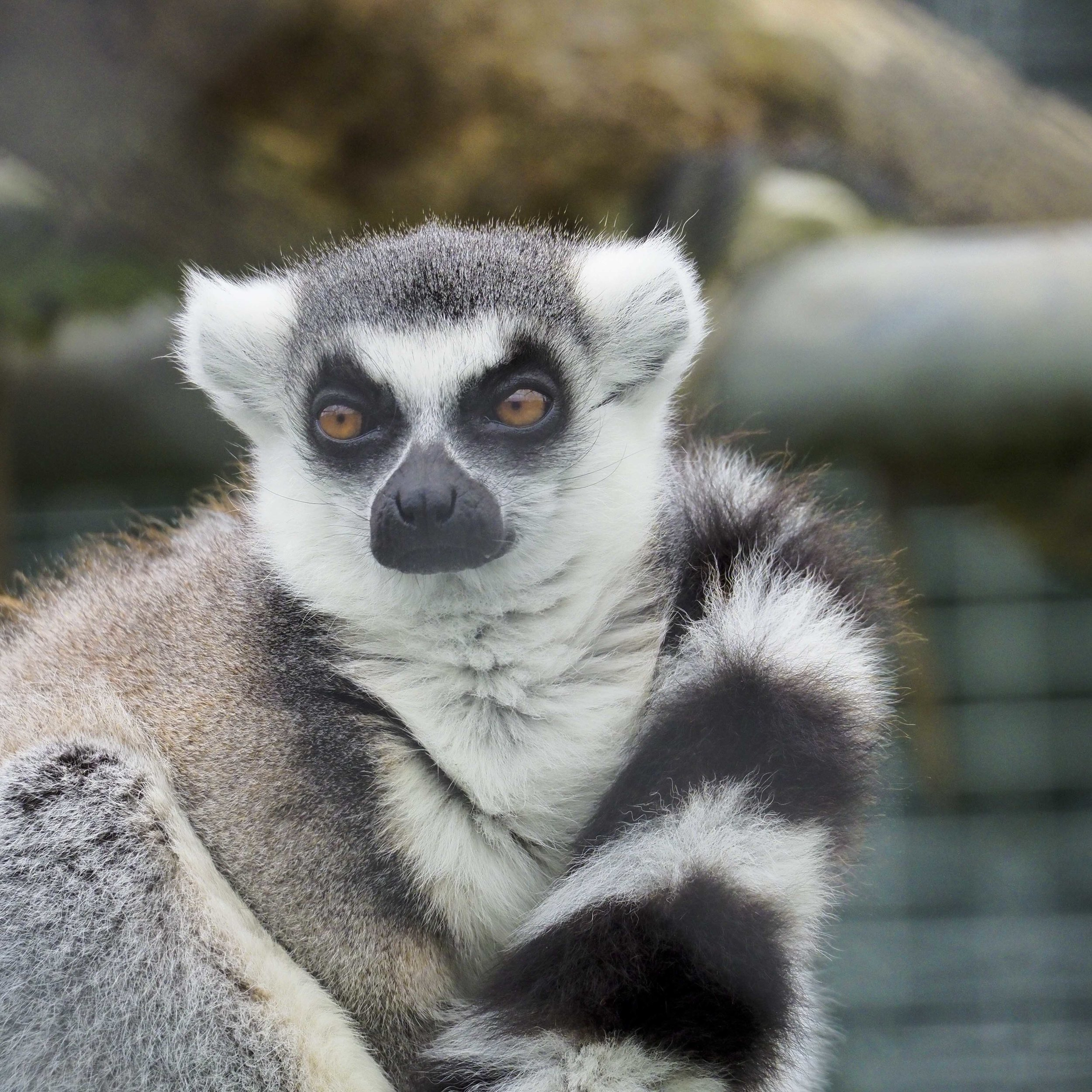 "An otherwise ok image, reduced in impact by the ""wire haze"" across the Lemur's face."