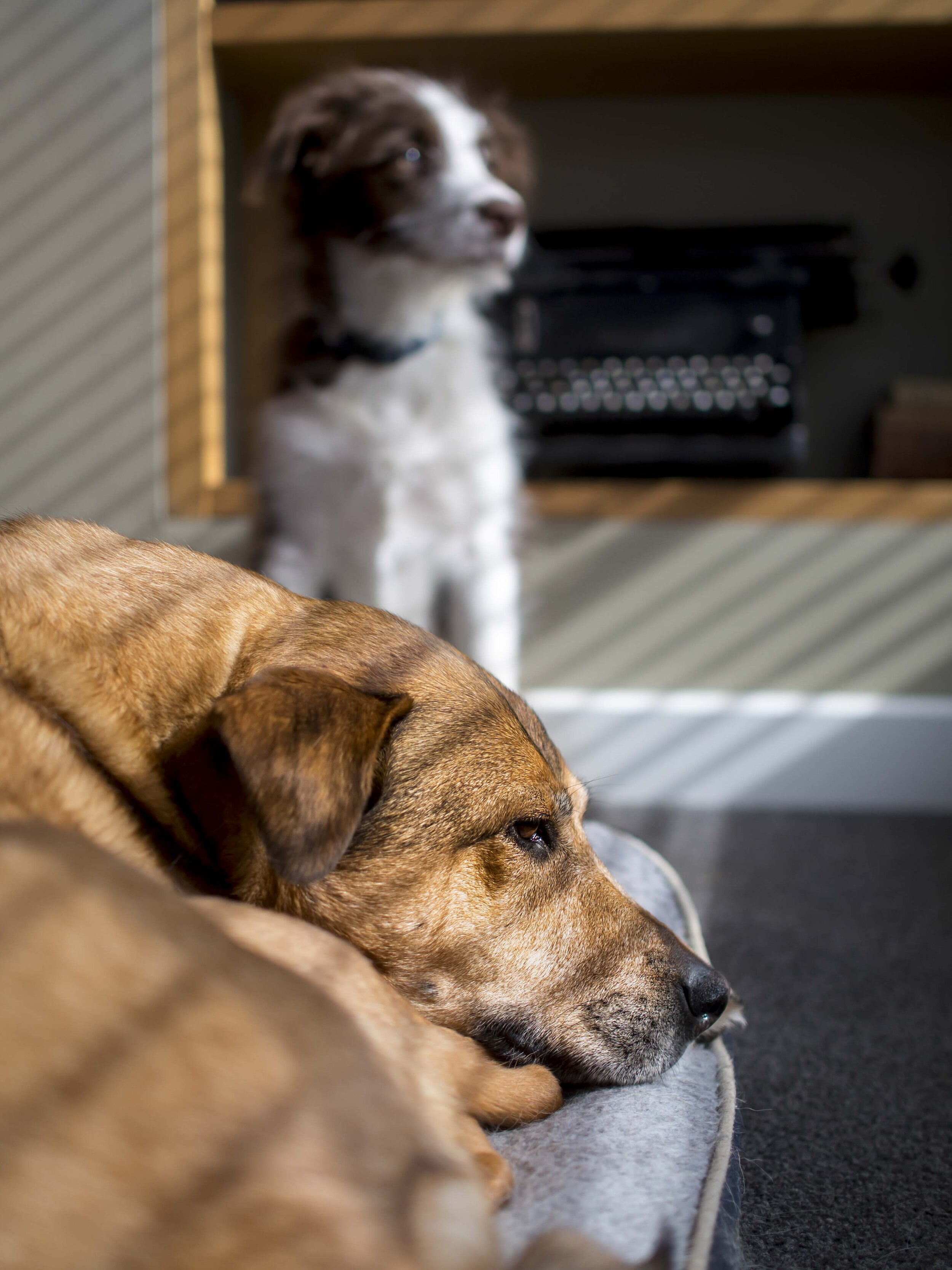 Daisy standing watch over Pepper on her last day with us, enjoying a short moment of winter sunshine on an all together bleak day. The nasty bone cancer in her hip/pelvis stole her away from us years before her time and left us with a lonely pup.
