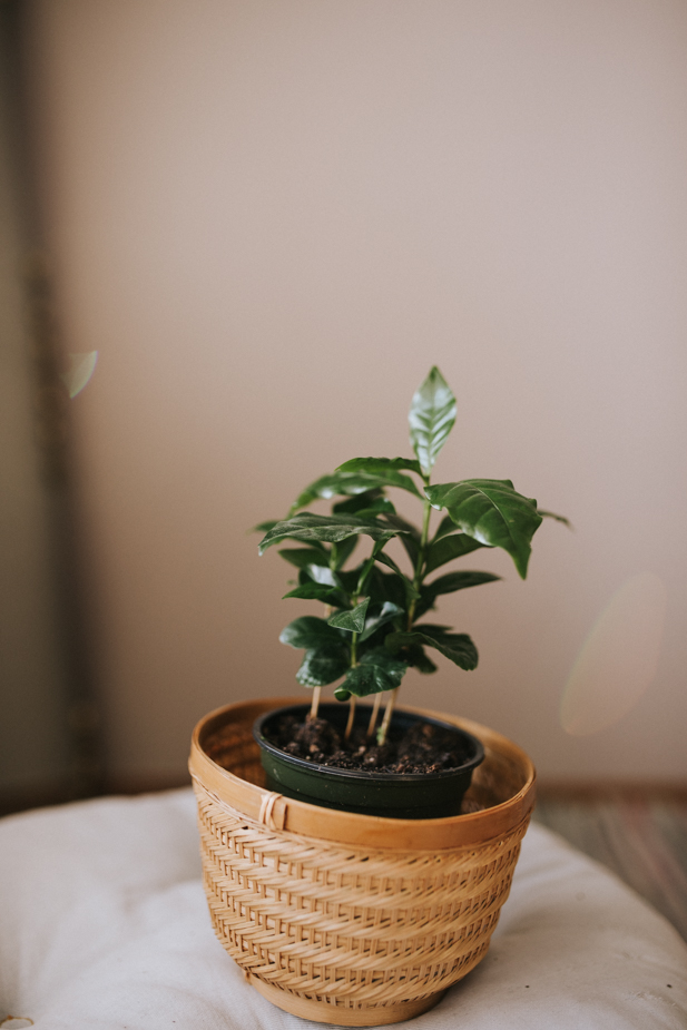 365-week13-coffee-plant-2307.jpg