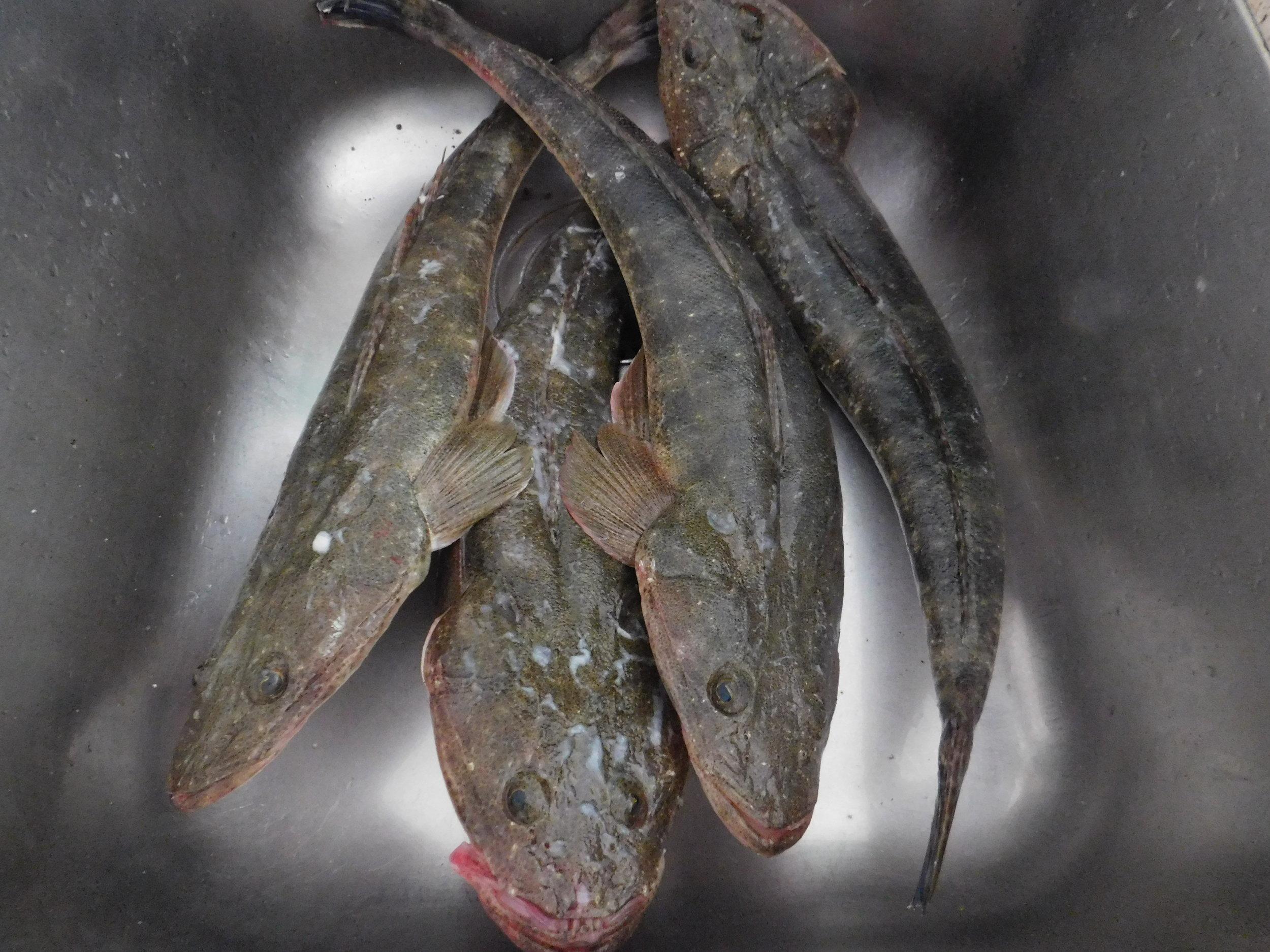 Flathead fish & Chips 005.JPG