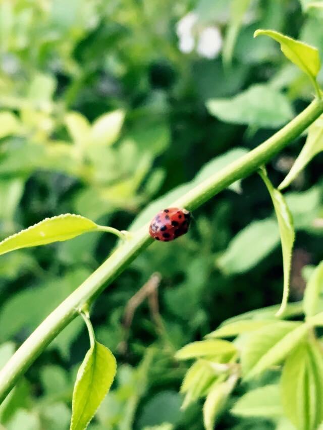 ladybug2016.jpg