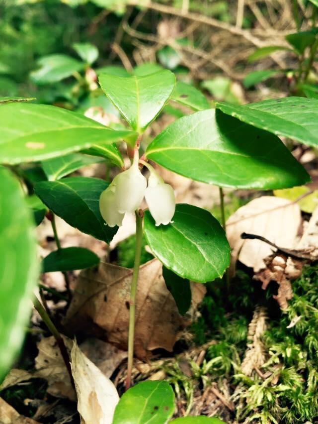 wintergreenflower2015.jpg