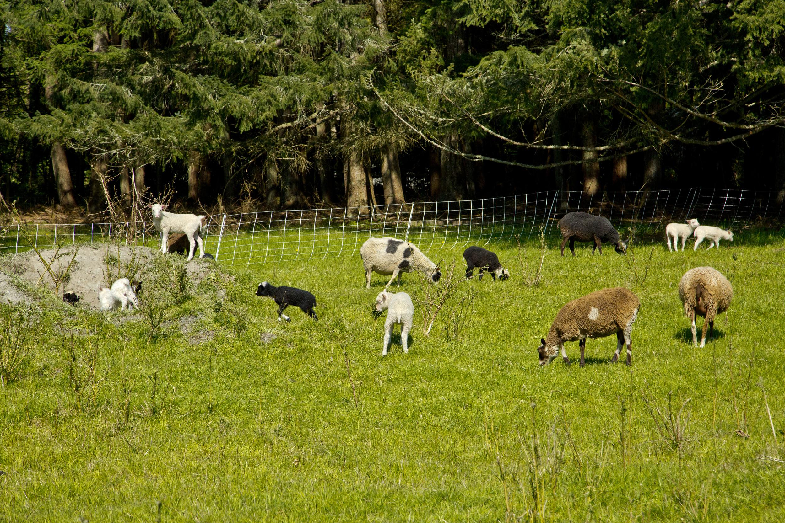 Flock of Finnsheep