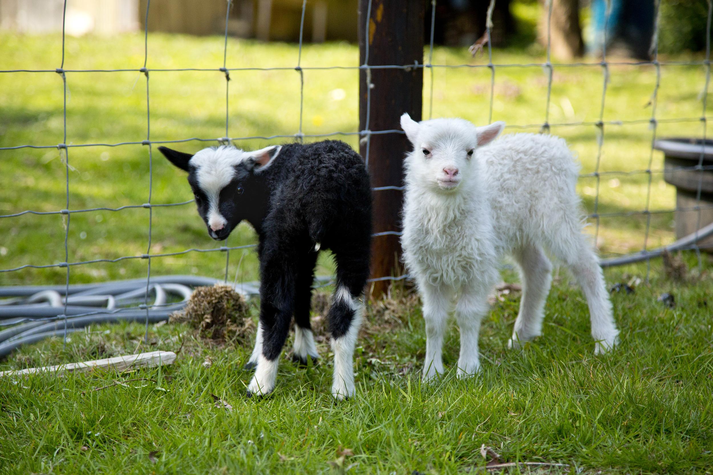 Finnsheep cuties