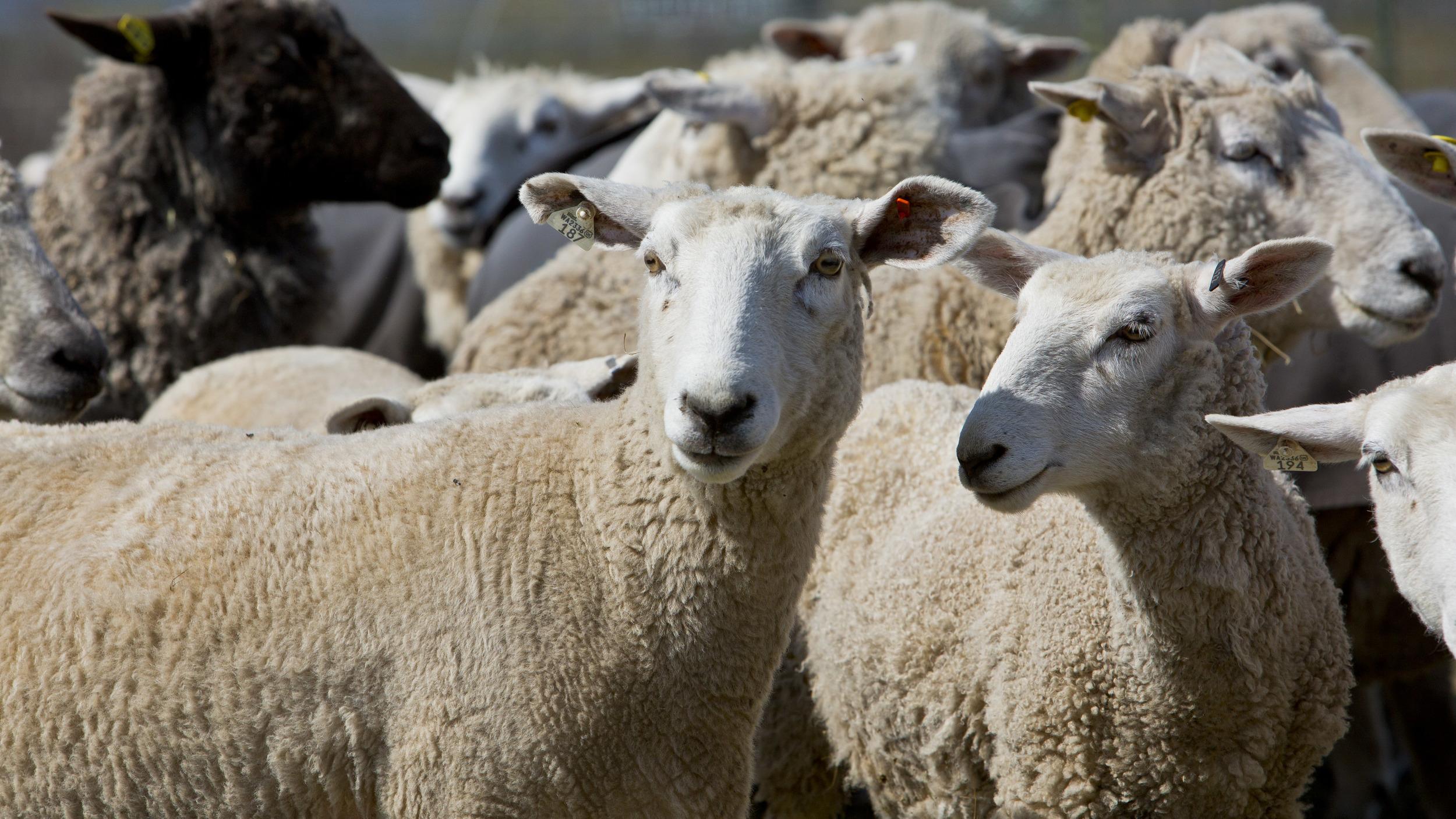 Cooke Creek Sheep Company