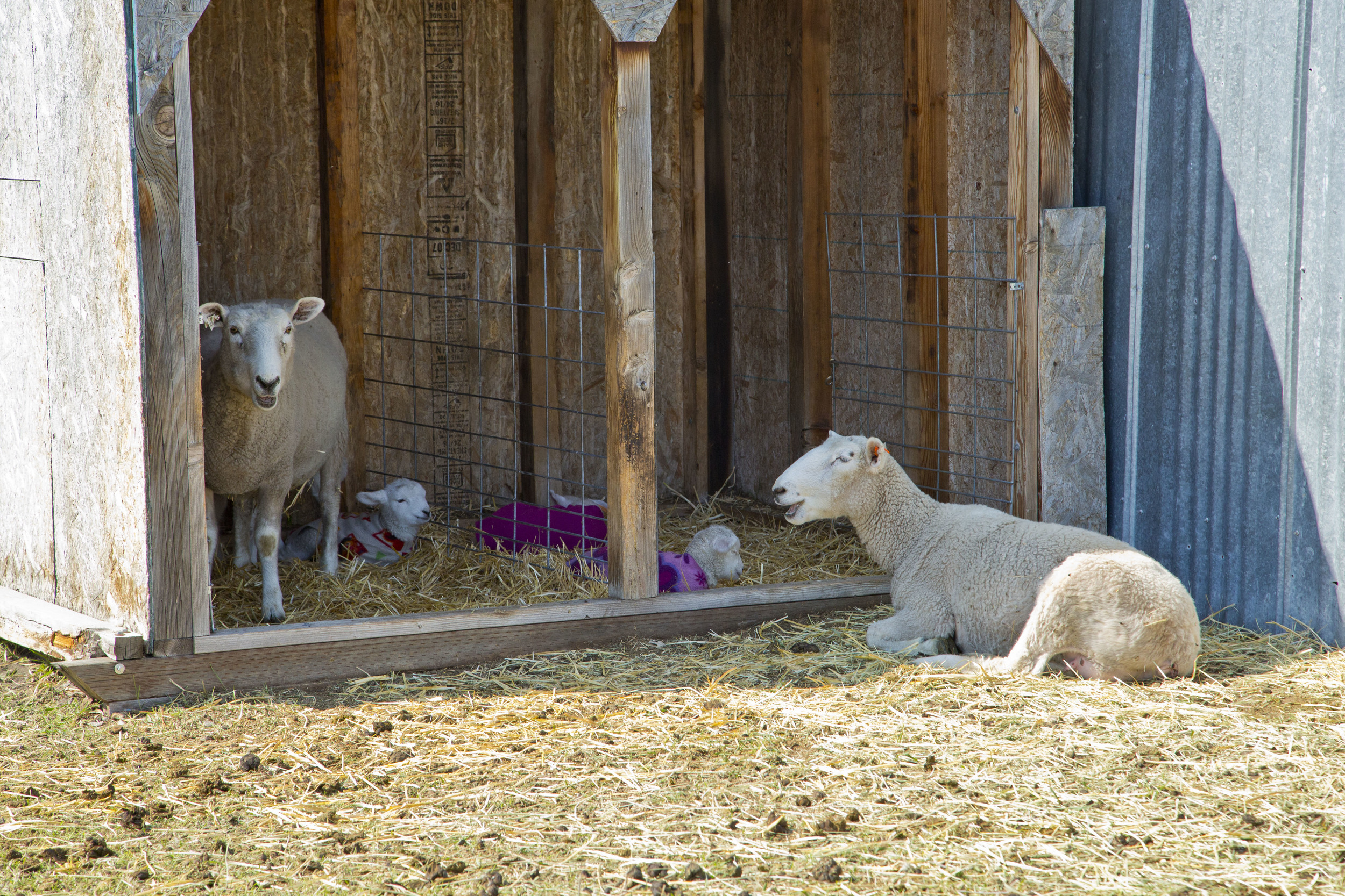 Cooke Creek Sheep during lambing season