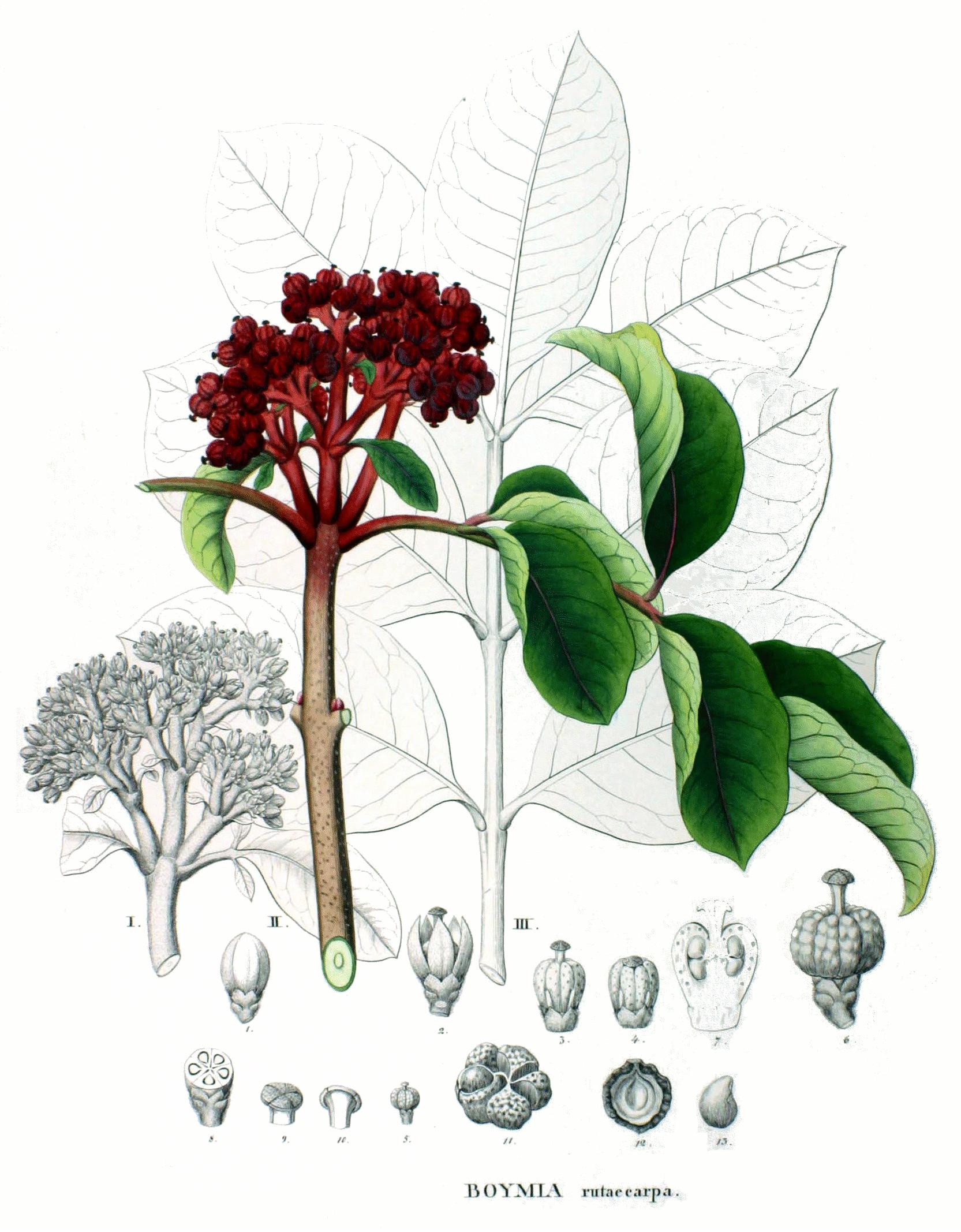 evodiafruit