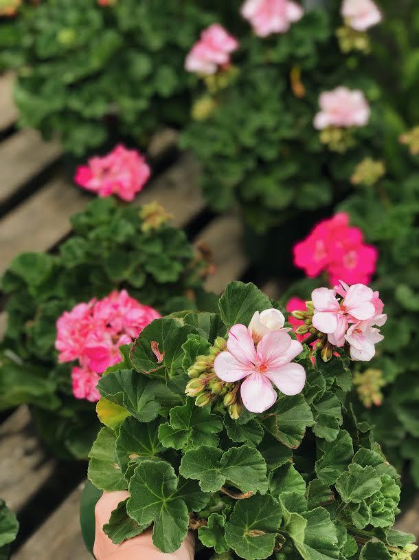 Light Pink Geranium