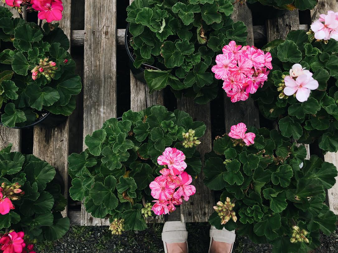 Light Pink Geraniums