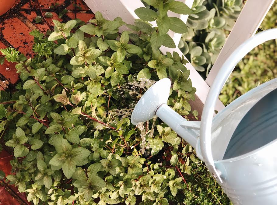 watering green spearmint with a blue watering can