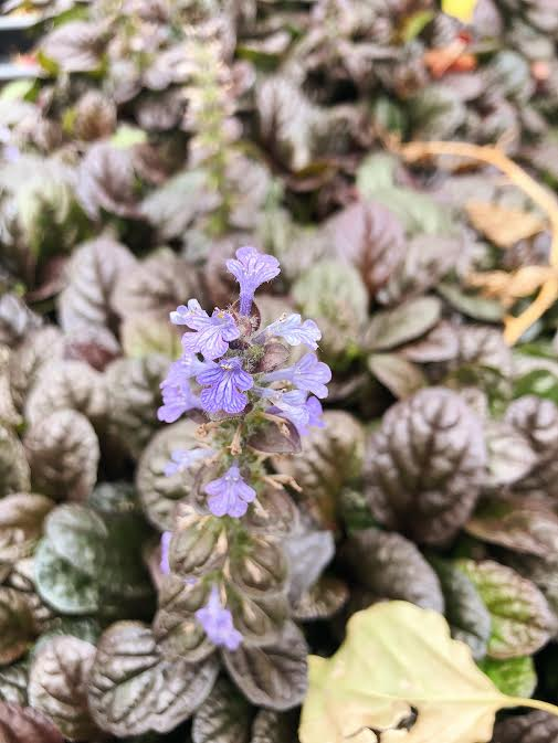 bugleweed with purple blossom