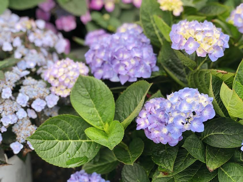purple/blue hydrangea bloom
