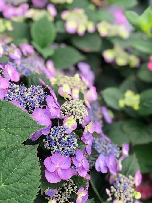 purple lace cap hydrangeas
