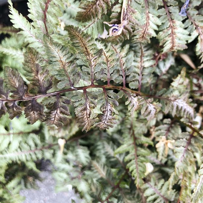 zoomed in of dictum japanese painted fern