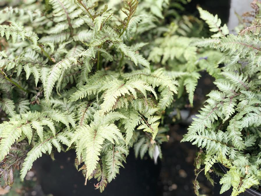 pictum japanese painted fern at garden center