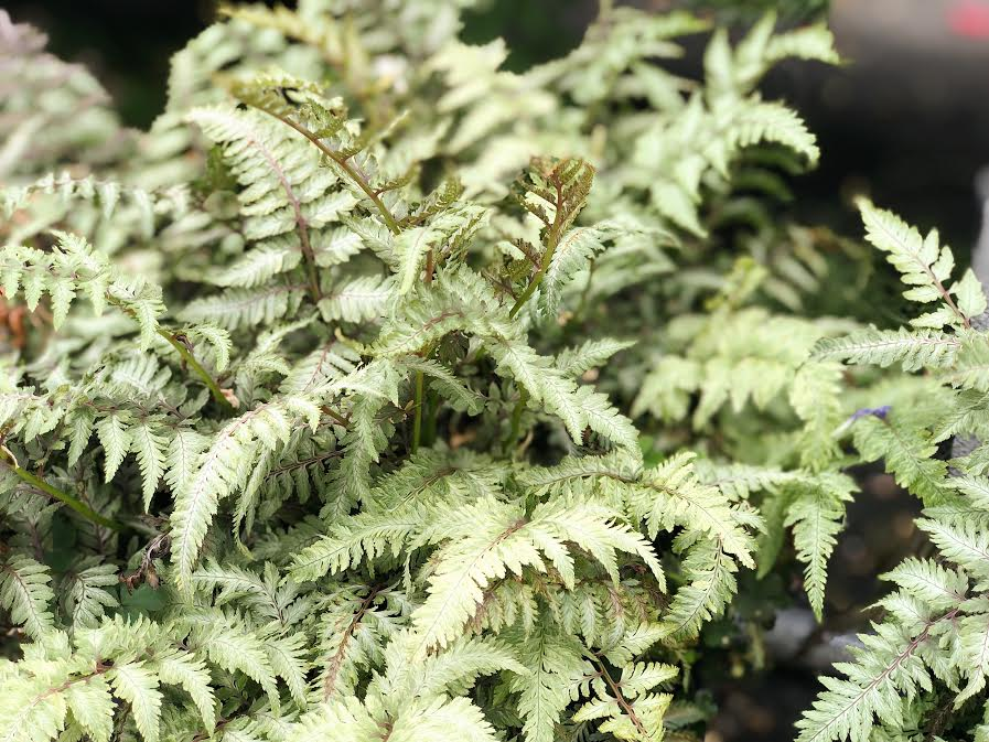 pictum japanese painted fern up close