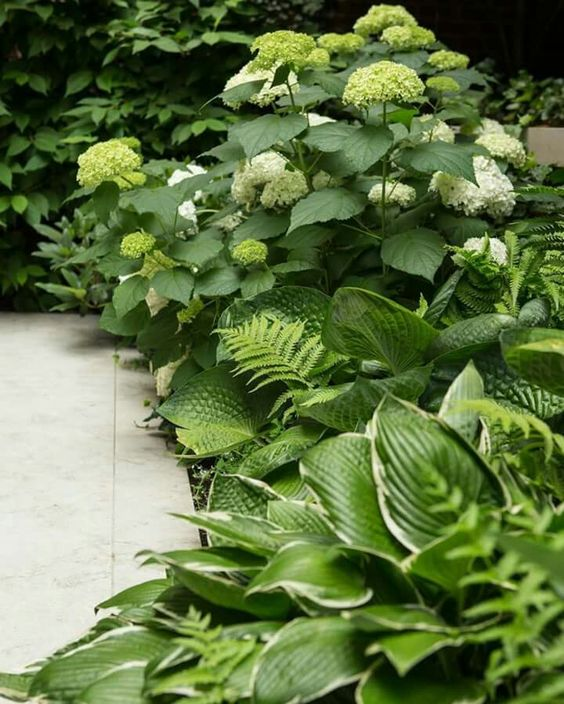 hydrangeas and hosta shade garden