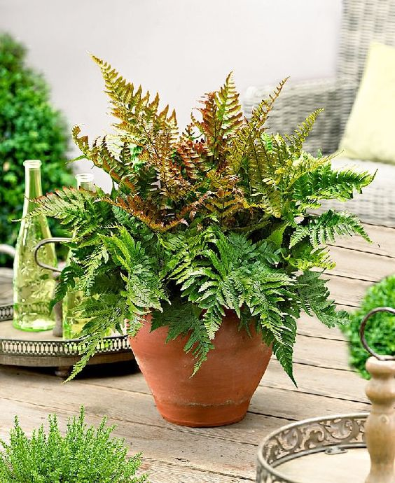 autumn fern in pot on patio