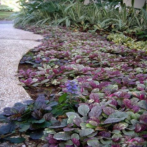 bugleweed as ground cover