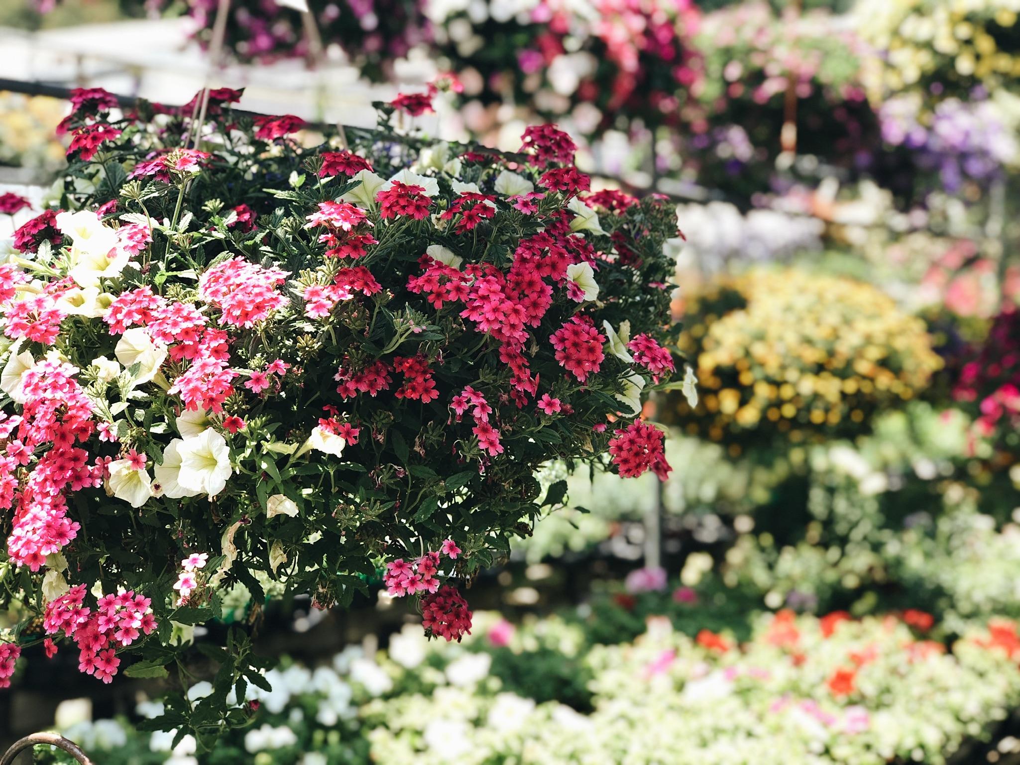 pink verbena blooms