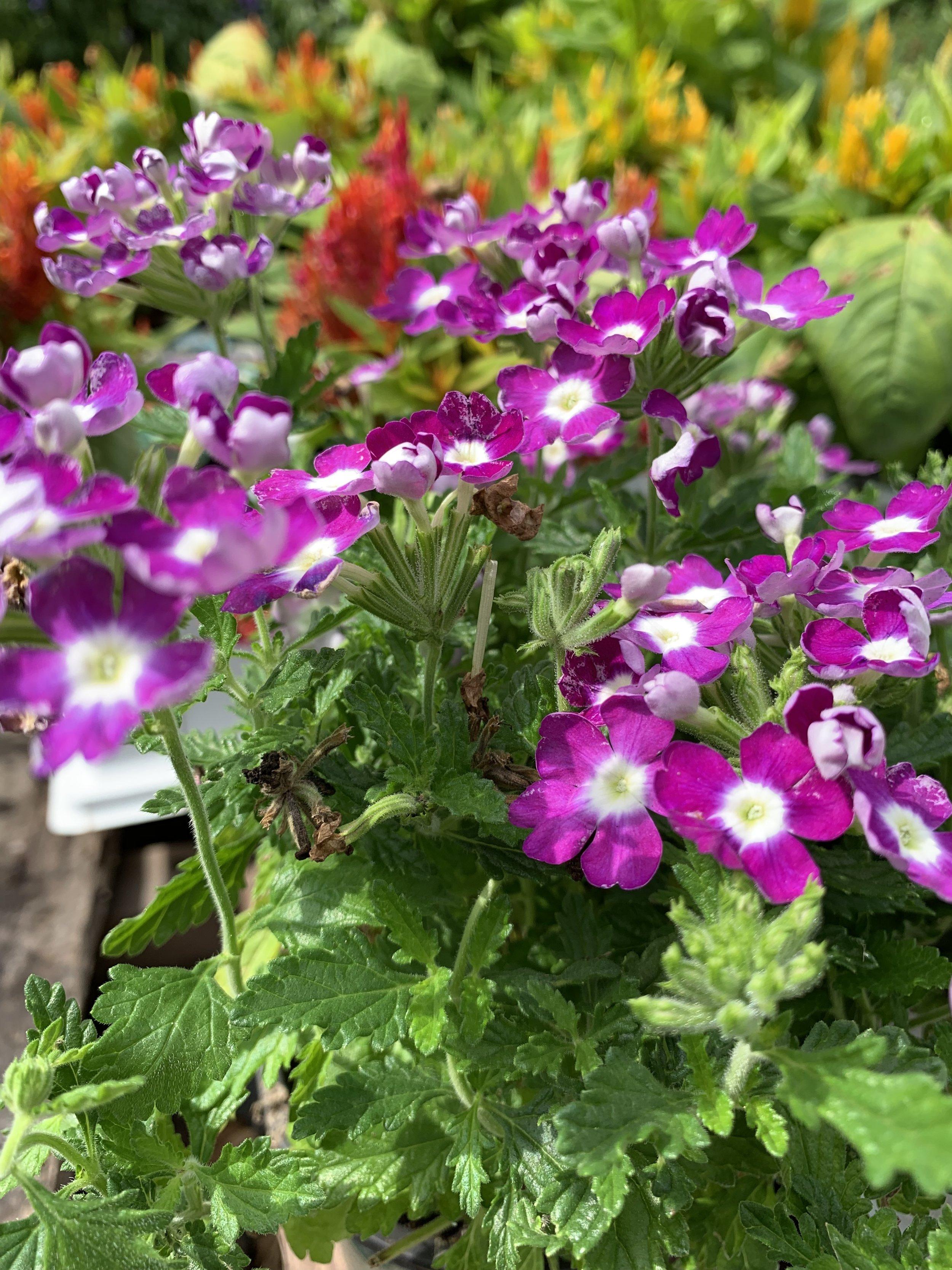 fuscia verbena flowers