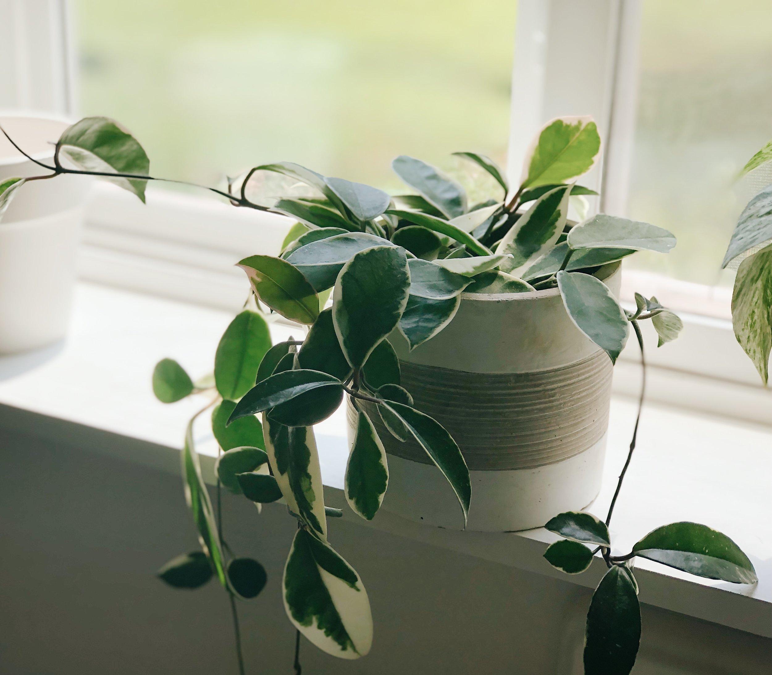 hoya vine on white windowsill