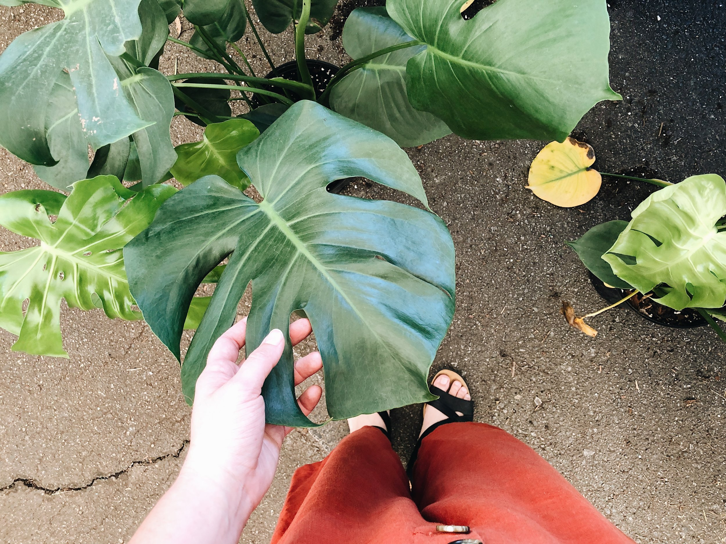 green philodendron leaves