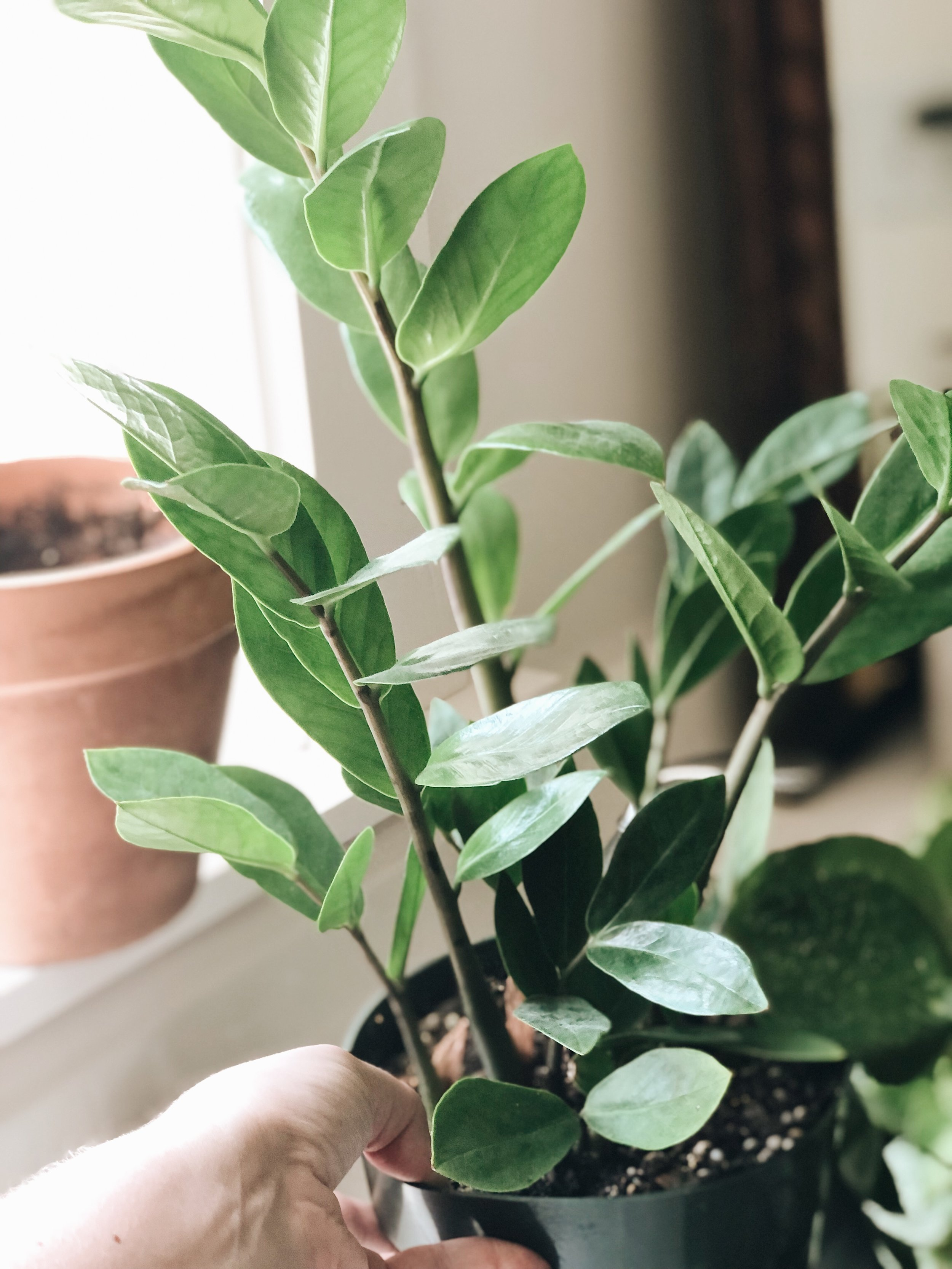 green zz plant