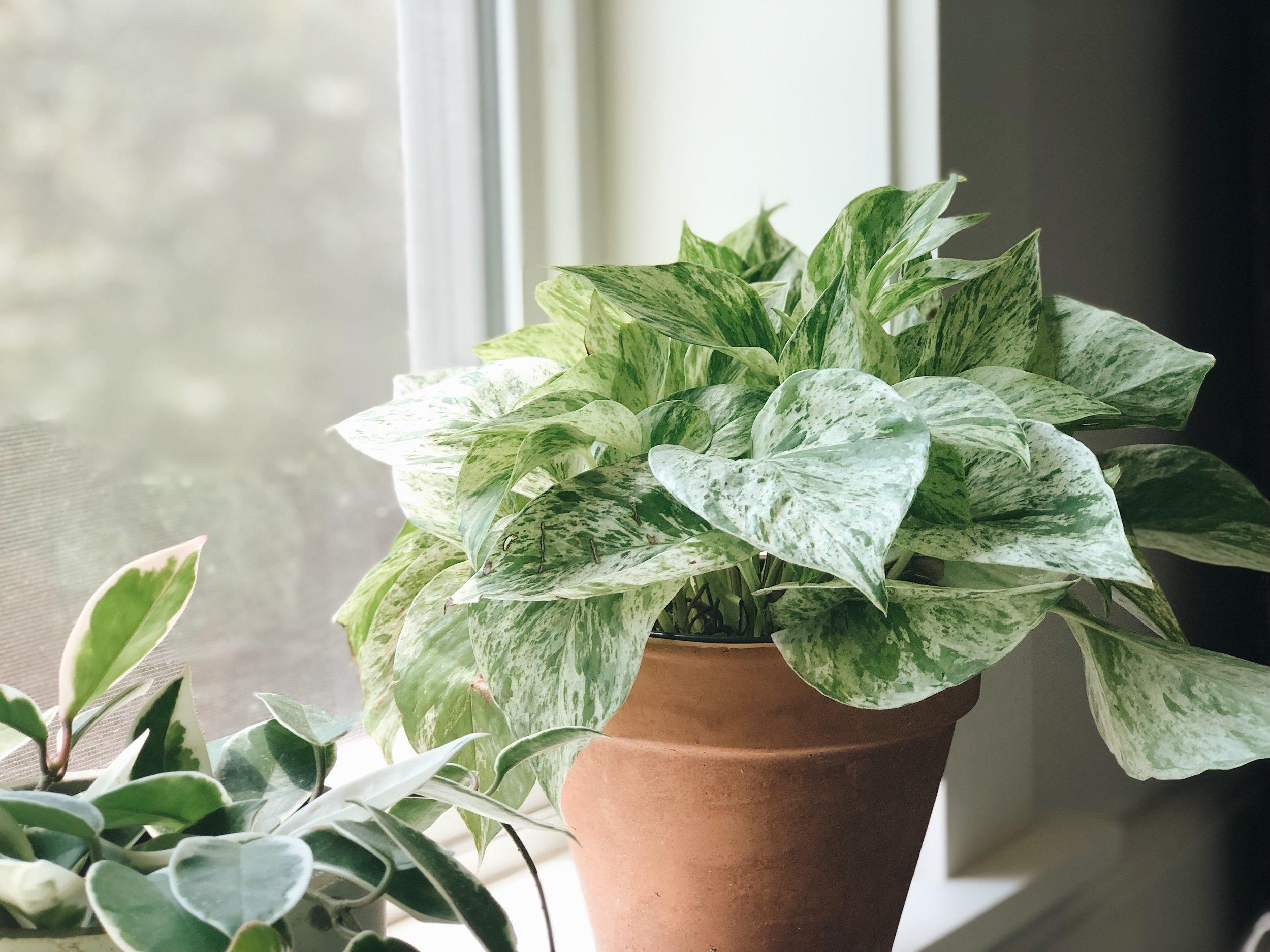 variegated pathos leaves