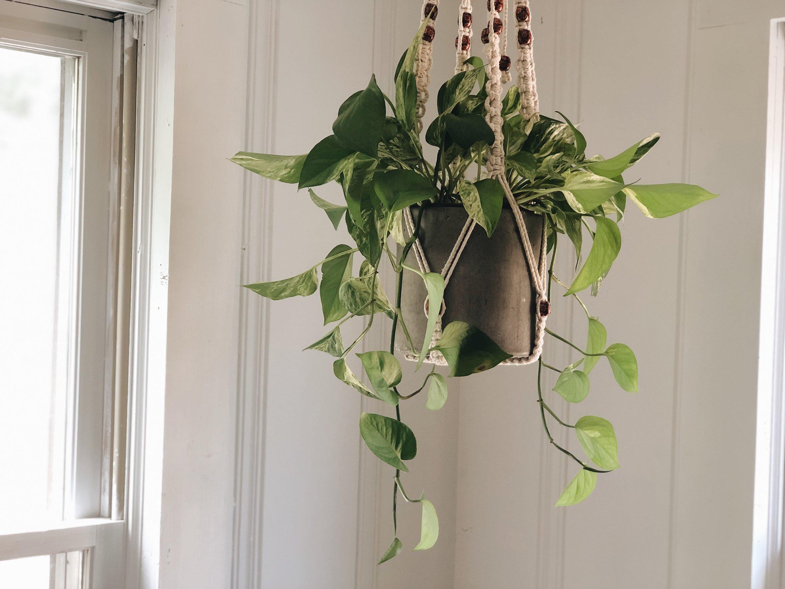 hanging pathos vine