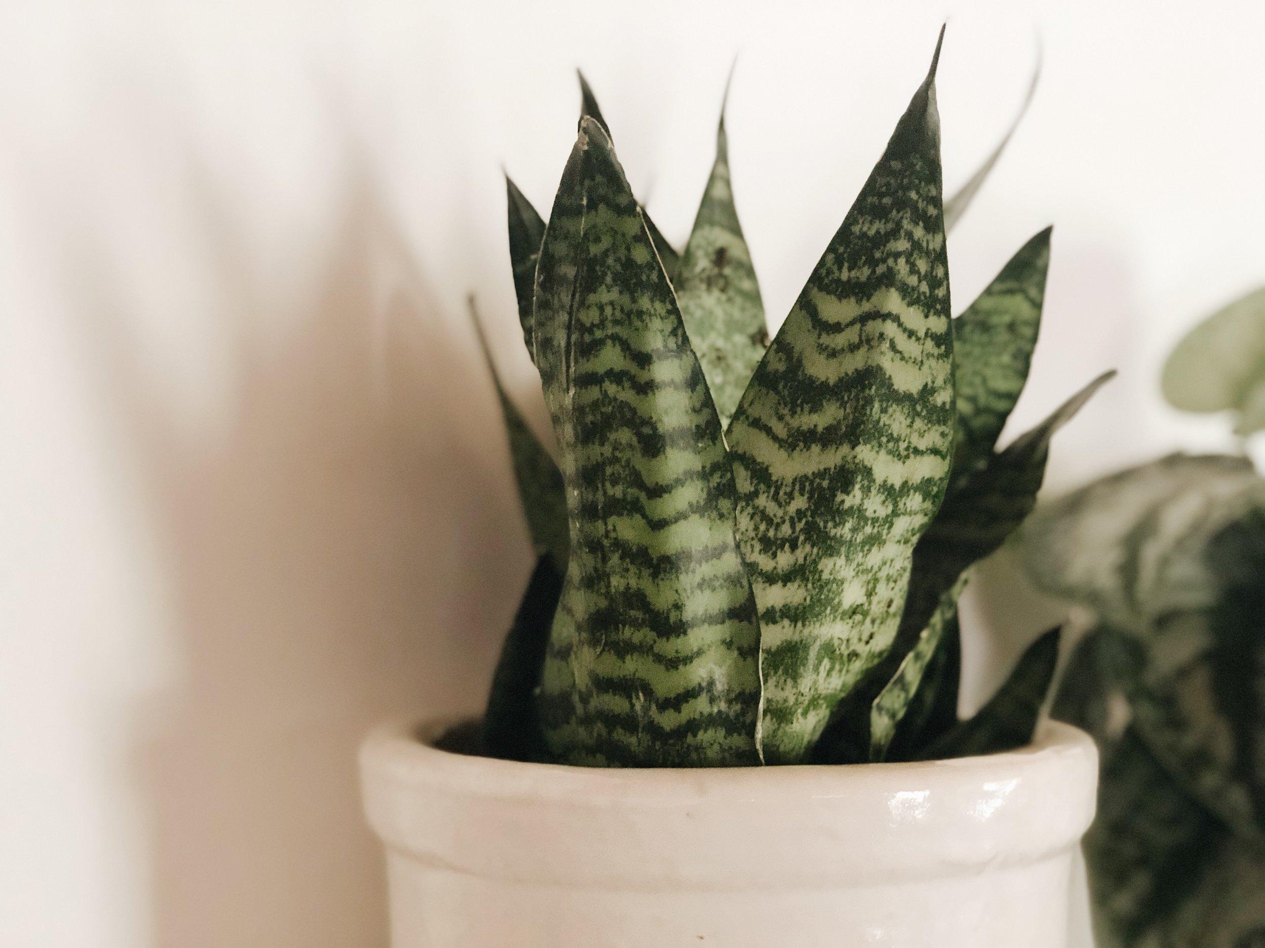 green snake plant in white pot against white wall