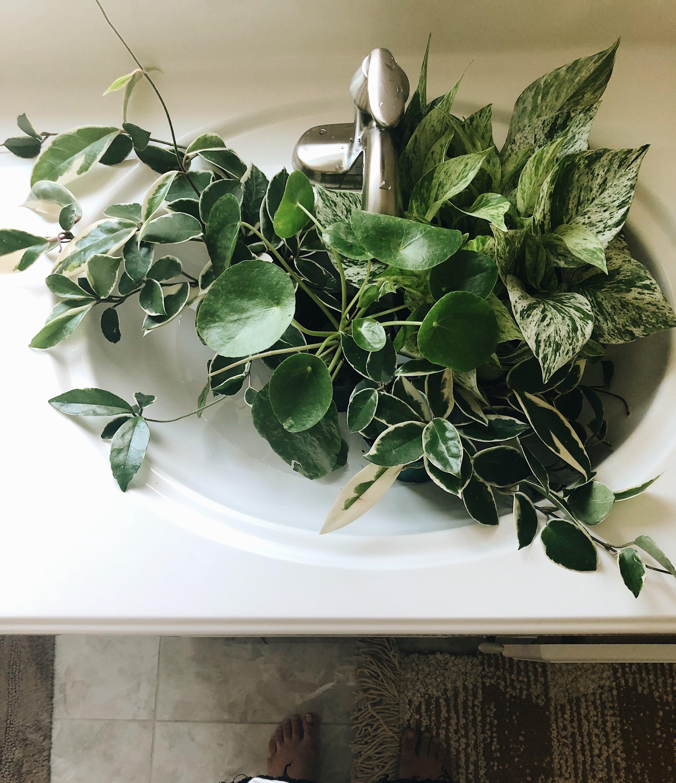 watering plants in sink