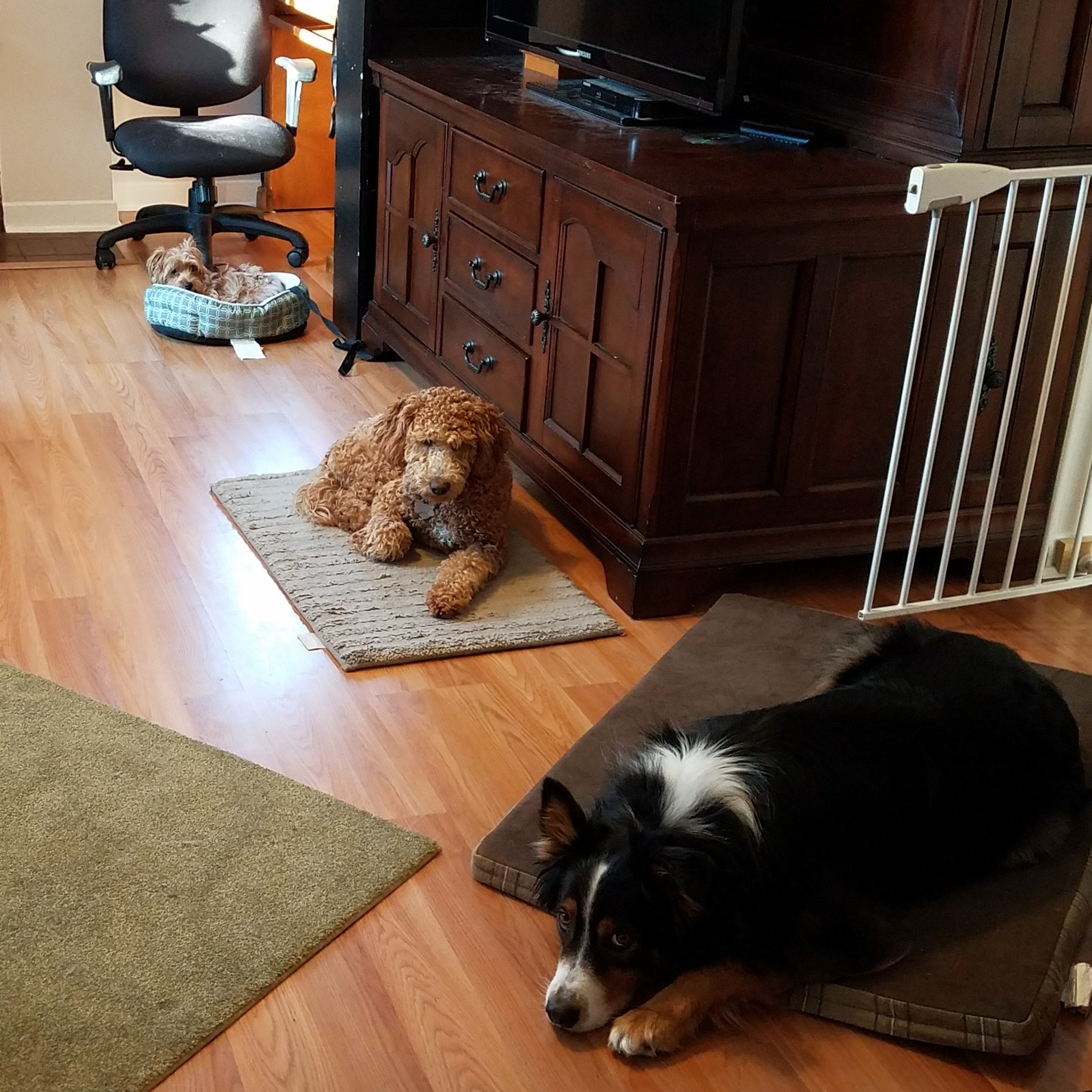 Goldendoodle Dog Training in Springville Utah | Bakers Acres K9 Academy
