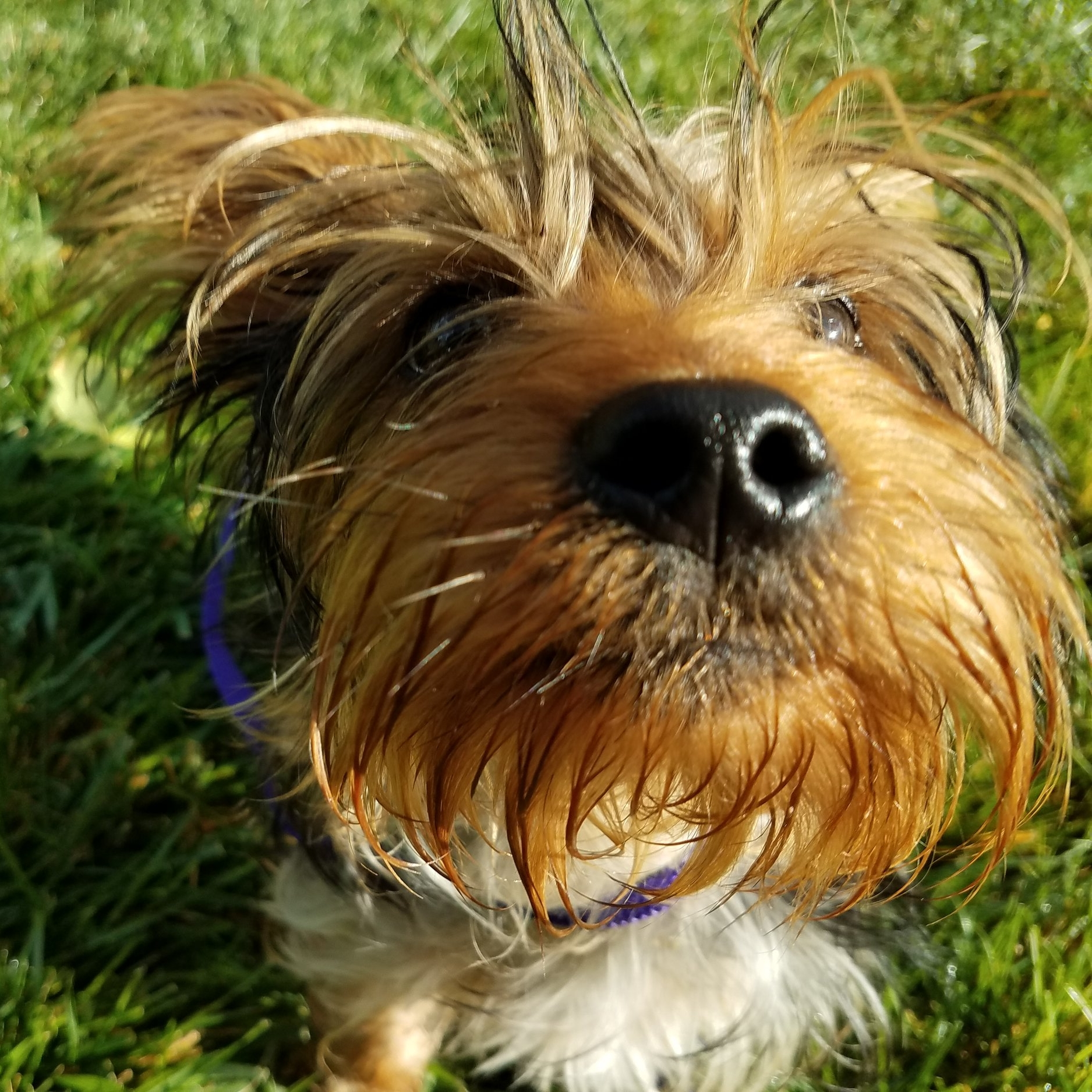 yorkie-puppy-training-boarding-utah