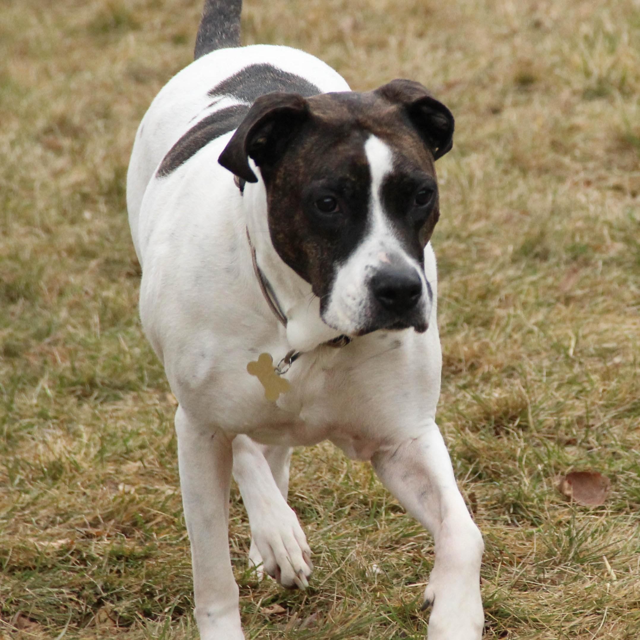 boxer_american-bulldog-boarding-utah-county