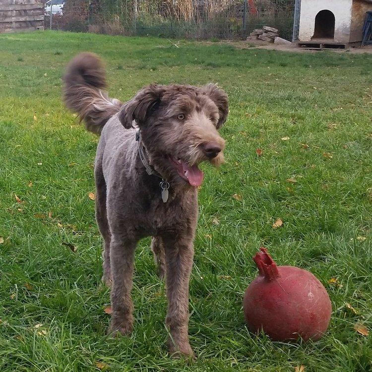 Borderdoodle Dog Training near Orem Utah | Bakers Acres K9 Academy