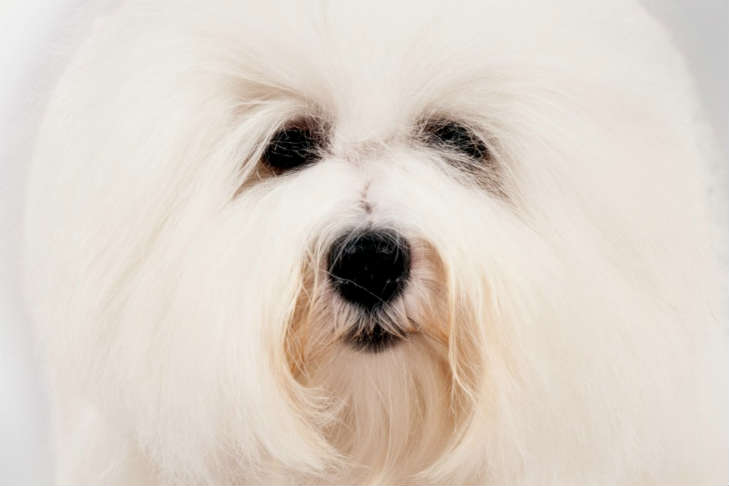 Barbara Streisand Coton de Tulear dog clone | Dog Ownership 101 | Bakers Acres K9 Academy Blog
